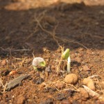 The First Sprouts