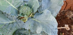Broccoli growing in leaps and bounds :)